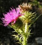 Bewehrte Distel Bluete pink Carduus tmoleus 02