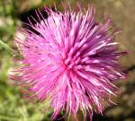 Bewehrte Distel Bluete pink Carduus tmoleus 05