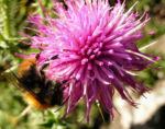Bewehrte Distel Bluete pink Carduus tmoleus 07