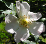Bibernell Rose Bluete weiss Rosa piminellifolia 04