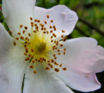 Bibernell Rose Bluete weiss Rosa piminellifolia 06