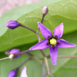 Bittersuesser Nachtschatten Bluete lila Solanum dulcamara 04