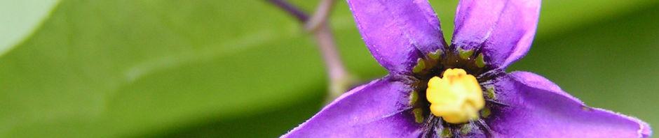 bittersuesser-nachtschatten-bluete-lila-solanum-dulcamara