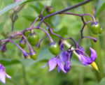Bittersuesser Nachtschatten Bluete lila Solanum dulcamara 06