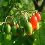 Bittersuesser Nachtschatten Frucht Solanum dulcimara 01