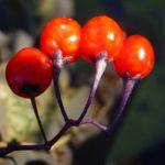 Bittersuesser Nachtschatten rote Beere Solanum dulcamara 24