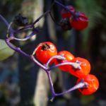 Bittersuesser Nachtschatten rote Beere Solanum dulcamara 26