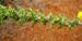 Zurück zum kompletten Bilderset Blättchenreiche Drüsenfrucht Blüte gelb Adenocarpus foliolosus