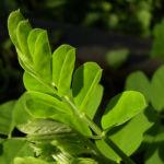 Blasenstrauch Colutea arborescens 08