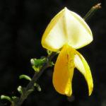 Blattstielloser Zwergginster Bluete gelb Chamaeccythisus sessilifolius 04