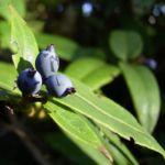 Blaue Heckenkirsche Lonicera caerulea 01
