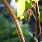 Bild:  Blaue Heckenkirsche Frucht blau Lonicera caerulea