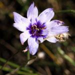 Blaue Rasselblume Bluete lila weiss Catananche caerulea 03
