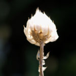 Blaue Rasselblume Bluete lila weiss Catananche caerulea 10