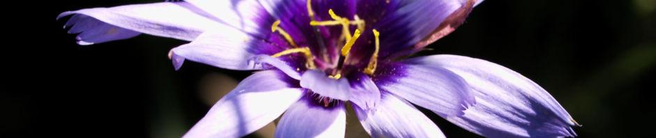 blaue-rasselblume-bluete-lila-weiss-catananche-caerulea