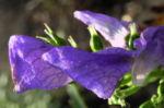 Blauer Eisenhut Bluete blau Aconitum x arendsii 04