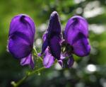 Blauer Eisenhut Bluete lila Aconitum napellus 01