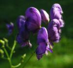 Blauer Eisenhut Bluete lila Aconitum napellus 06