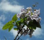 Blauglockenbaum Bluete hell Paulownia tomentosa 03
