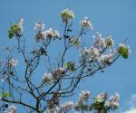 Blauglockenbaum Bluete hell Paulownia tomentosa 07
