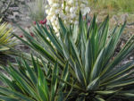 Blaugruene Palmlilie Blatt gruen Yucca glauca 01
