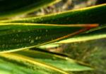 Blaugruene Palmlilie Blatt gruen Yucca glauca 03