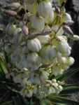 Blaugruene Palmlilie Bluete weiß Yucca glauca 03