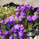 Blaukissen blue Emperor Bluete violett Aubrieta hybride 01