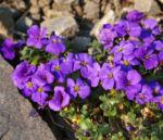 Blaukissen blue Emperor Bluete violett Aubrieta hybride 04