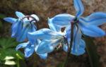 Blaustern Bluete hellblau Scilla bifolia 03