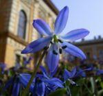 Blaustern Scilla siberica 01