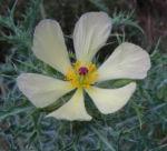 Bleicher Stachelmohn Bluete blass gelb Argemone ochroleuca 17