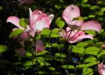 Blumen Hartriegel Bluete pink Cornus florida 05