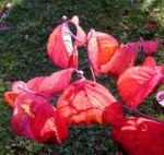 Blumen Hartriegel Strauch Herbst Blatt rot Cornus florida 01