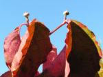 Blumen Hartriegel Strauch Herbst Blatt rot Cornus florida 02