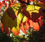 Blumen Hartriegel Strauch Herbst Blatt rot Cornus florida 03