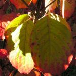 Blumen Hartriegel Strauch Herbst Blatt rot Cornus florida 05