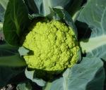Blumenkohl Frucht gruen Brassica oleracea 24