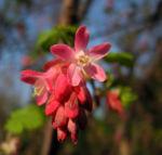 Blut-Johannisbeere-Bluete-rot-Ribes-sanguineum04