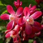 Blut Johannisbeere rote Bluete Ribes sanguineum 01
