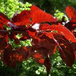 Blut Pflaume Frucht Prunus cerasifera nigra 05