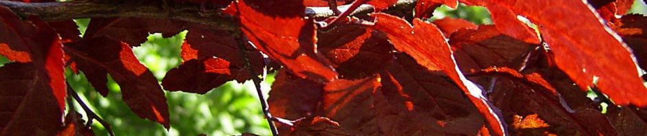 blut-pflaume-frucht-rot-prunus-cerasifera-nigra