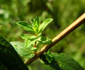 Blut Weiderich Blatt Staengel Lythrum salicaria 05