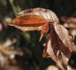 Blutpflaume Blatt roetlich Prunus cerasifera 01