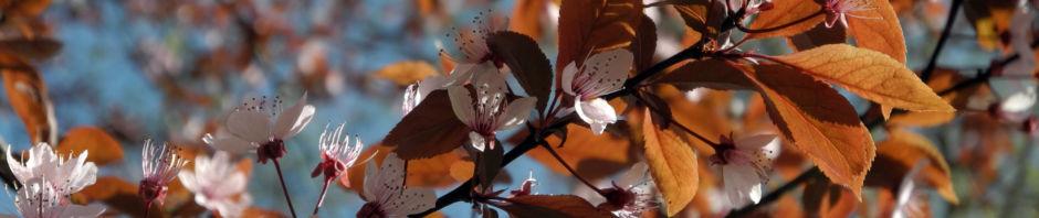 blutpflaume-bluete-weiss-prunus-cerasifera-nigra