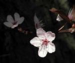 Blutpflaume Bluete weiß Prunus cerasifera 25