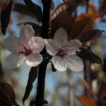 Blutpflaume Bluete weiß Prunus cerasifera 27