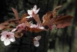 Blutpflaume Bluete weiß Prunus cerasifera 32