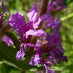 Blutweiderich Lythrum salicaria 03