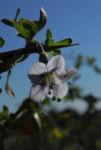Bocksdorn Bluete lila Lycium ferocissimum06
